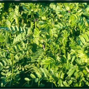 Βίκος φυτό για ζωοτροφή
