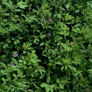 μηδικη φυτό